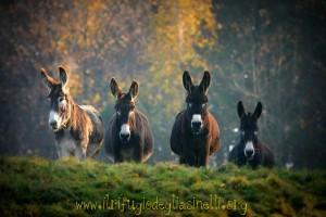 4 asini rifugio