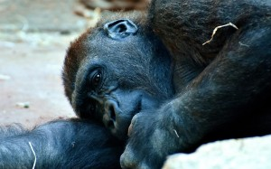Scimmia per Tartabini