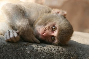 reclining-monkey-monkey-child-monkey-india